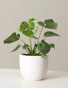 the sill monstera plant, perfect Zoom setup