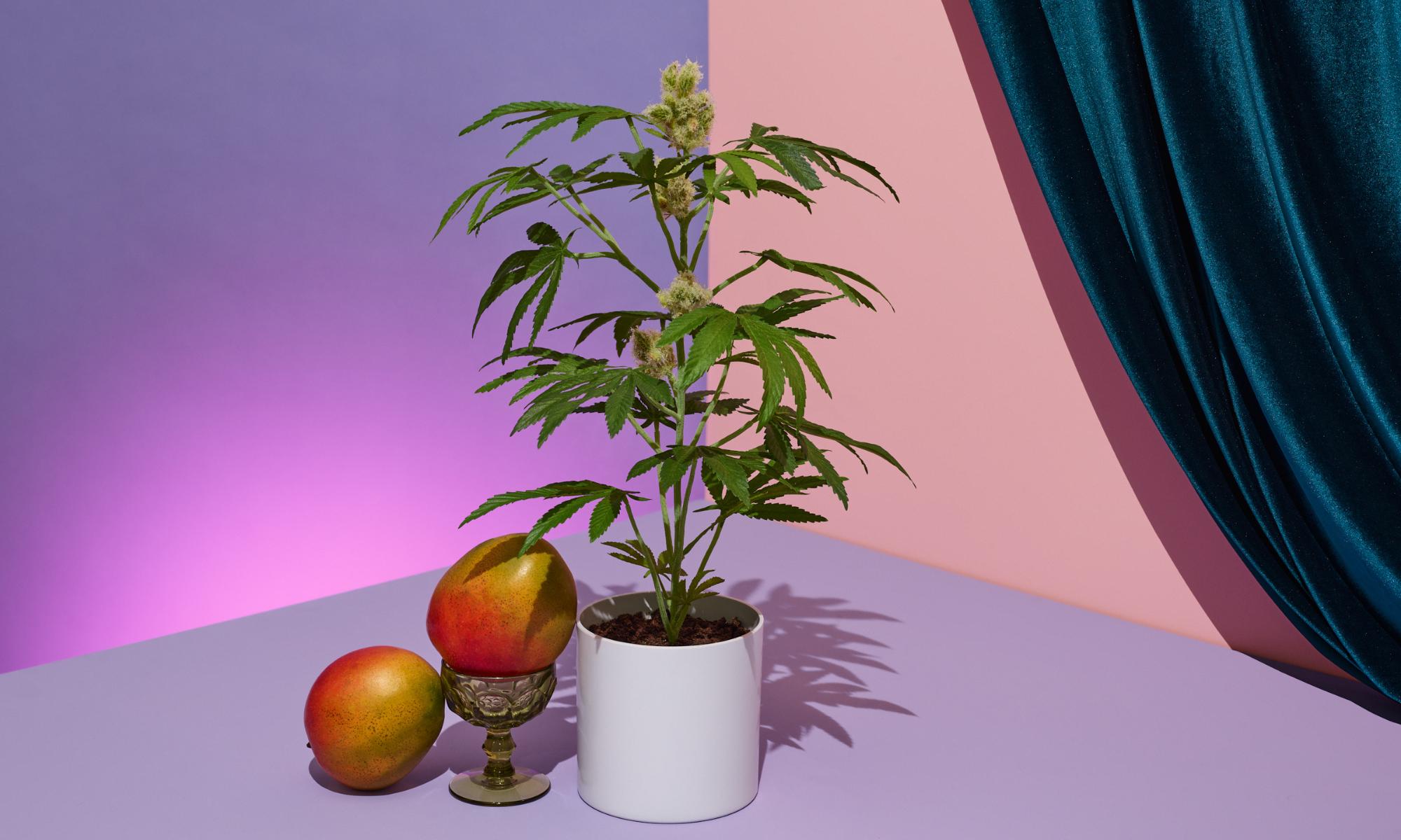 the pot plant