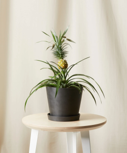 Bromeliad Pineapple