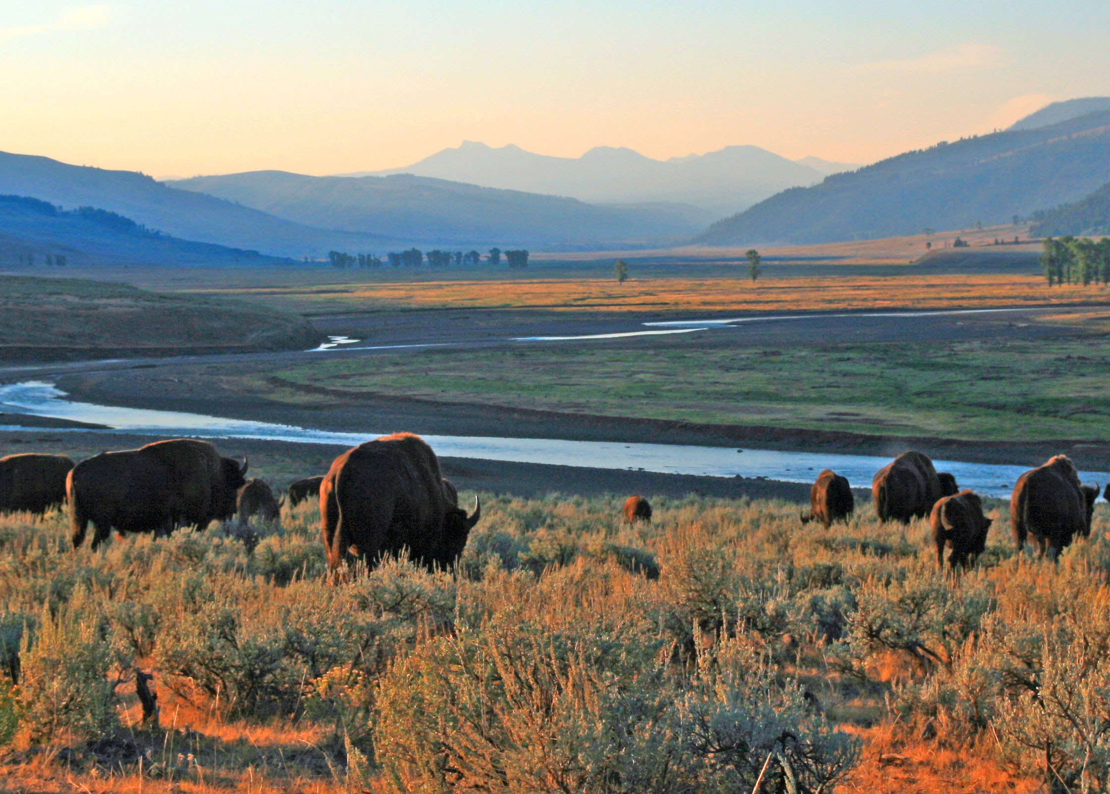 Bison Buffalo herd in early morning light in the Lamar Valley of Yellowstone National Park in Wyoiming USA