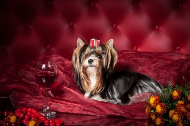 Yorkshire Terrier Pom Pont on a dark red background in the studi