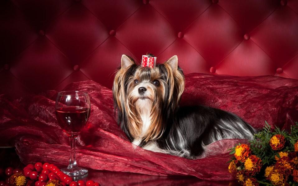 spoiled Yorkshire Terrier on red velvet
