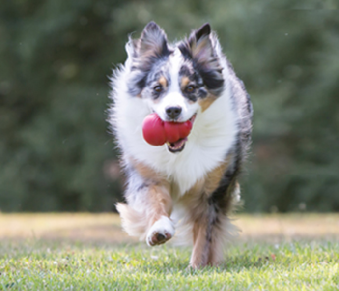 dog carrying Kong toy
