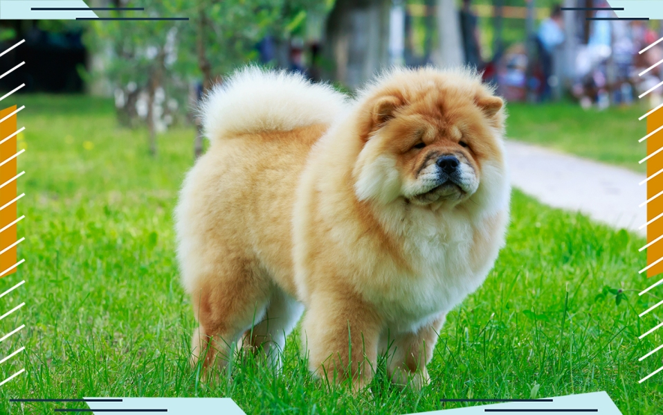 chow chow on grass