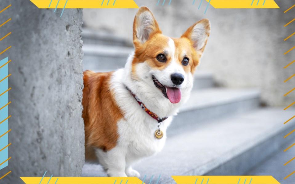 happy corgi, best pet insurance plans