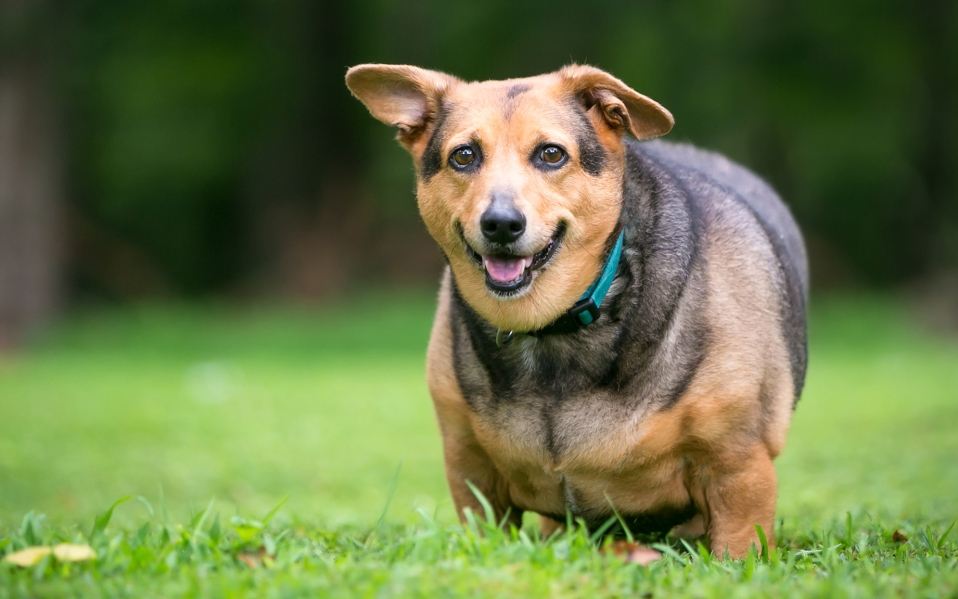 A severely overweight Welsh Corgi mixed