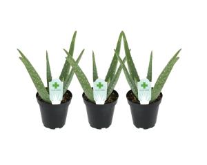 Altman plants aloe vera plant 3-pack, lawn alternatives