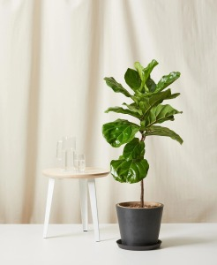 Bloomscape fiddle leaf fig, best Christmas gifts