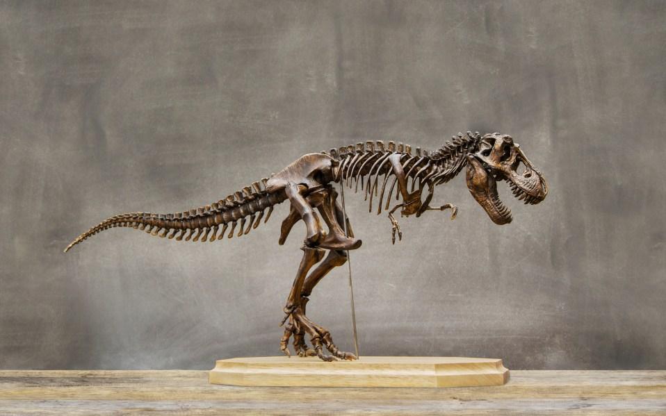 Fossil skeleton of Dinosaur king Tyrannosaurus
