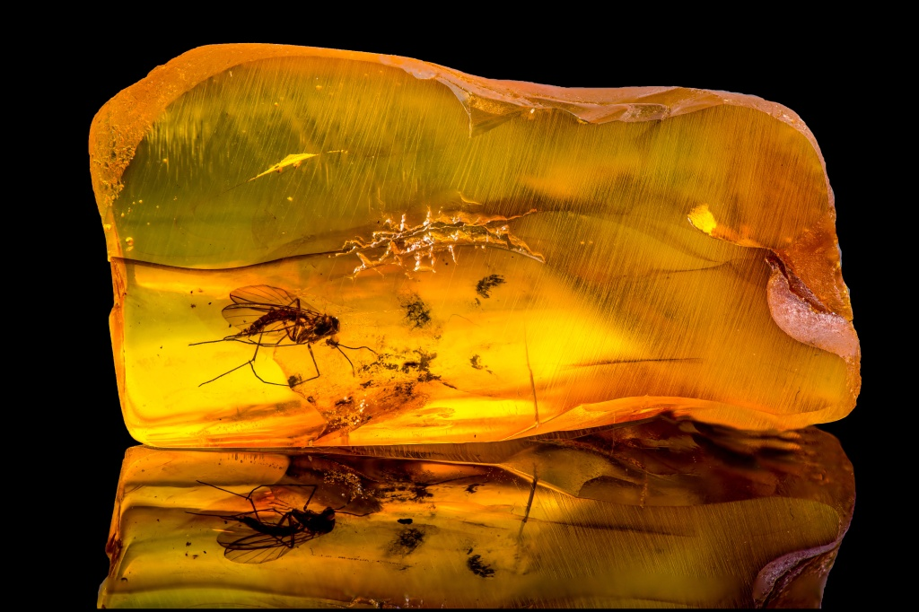 mosquito in amber fossil