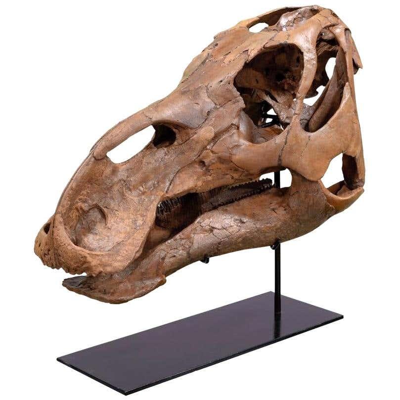 Fossilised Skull of an Edmontosaurus Dinosaur